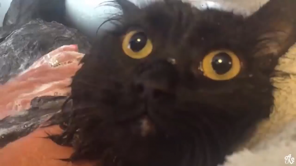 """Cat clearly says """"NO"""" twice to bath time"""