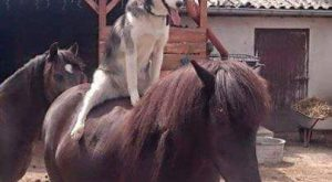 No saddle needed for this Husky. – Funny Husky Meme – Funny Husky Quote…