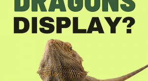 What Behaviors Do Bearded Dragons Display