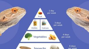 Bearded Dragon Food Pyramid