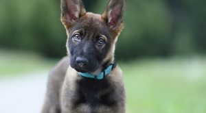 Adorable German Shepherd Pup! Repin & Like. Thank you . Listen to Noel…