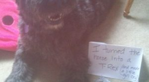 Dog Shaming. Bouvier eats horse's legs and makes little girl cry #dog #bouvier #dog…