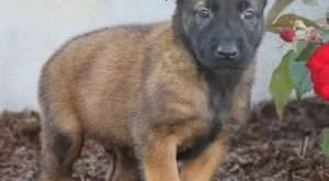 Belgian Malinois Puppy in Myerstown, PA