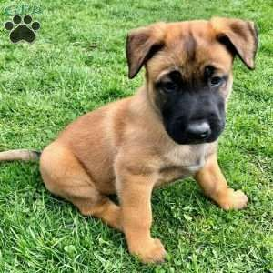 Belgian Malinois Puppy in Huntingdon, PA