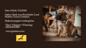 Belgian malinois puppies for sport and training