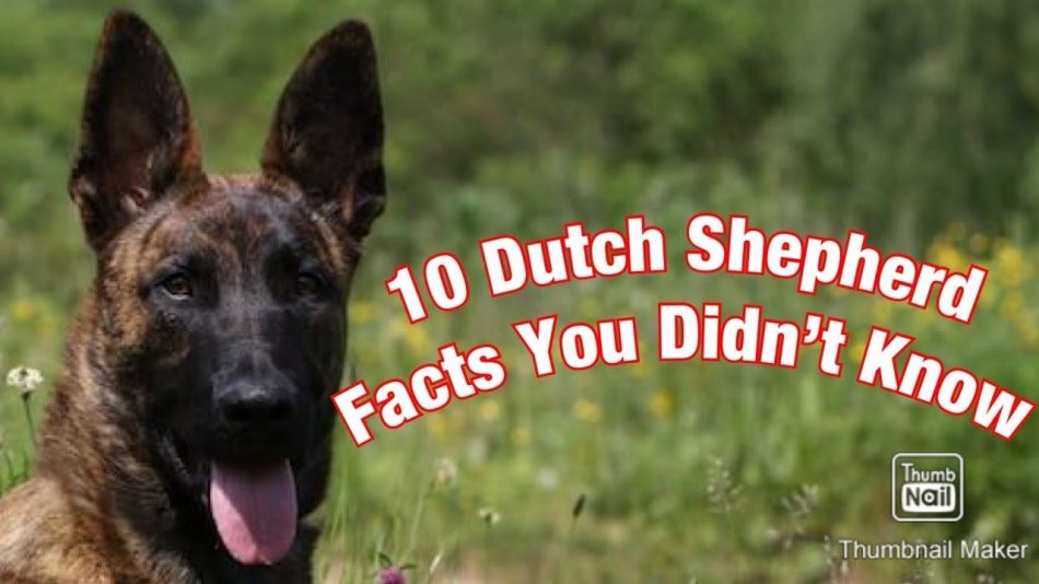 10 Dutch Shepherd Facts You Didn't Know! – YouTube