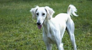 5 Skinny Dog Breeds You Will Want to Bring Home | PetHelpful