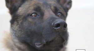 Coronavirus: Belgian shepherd dogs trained to sniff out Covid-19 score top marks in armpit…
