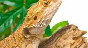 How To Care For A Bearded Dragon – A Simple Bearded Dragon Care Guide