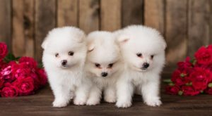 Pomapoo: The Definitive Guide To This Teddy Bear Mix