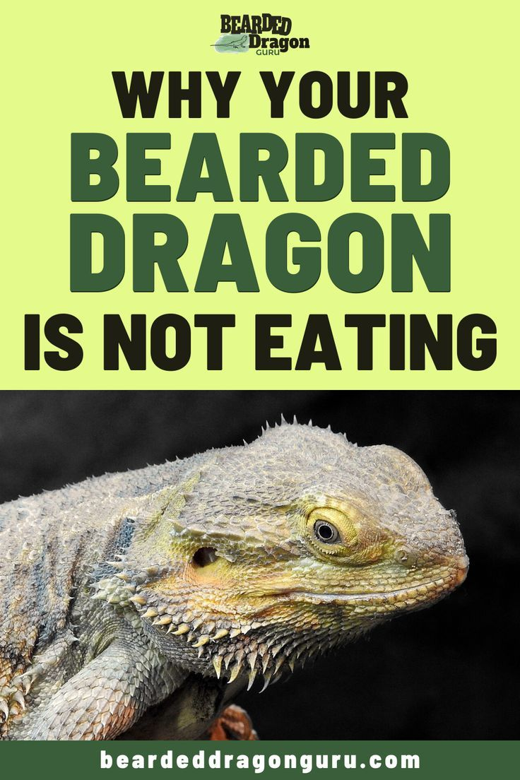 11 Reasons Your Bearded Dragon is Not Eating