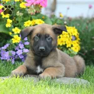Belgian Malinois Puppy in Gordonville, PA