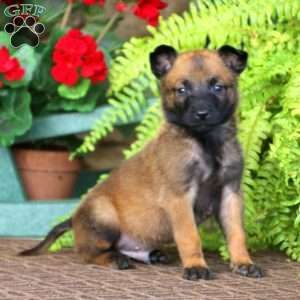 Belgian Malinois Puppy in Narvon, PA