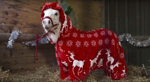The Shetland Pony Putting ALL Christmas Onesies to Shame