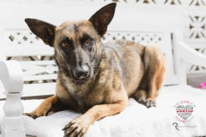 Anza Girl is an adoptable belgian shepherd / malinois searching for a forever family…