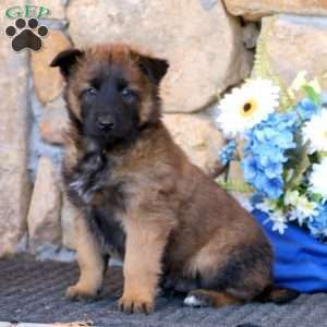Belgian Malinois Puppy in Honey Brook, PA