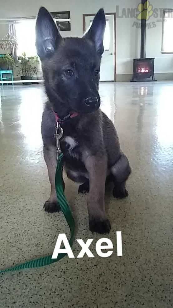Axel – Belgian Malinois Puppy for Sale in Champaign, IL | Lancaster Puppies