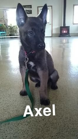 Belgian Malinois Puppies For Sale | Lancaster Puppies
