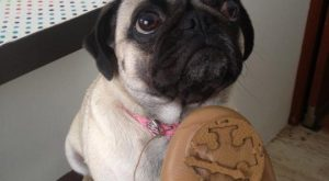 Sorry, Not Sorry: Guilty Pugs Being Shamed For Their Naughty Crimes – I Can…
