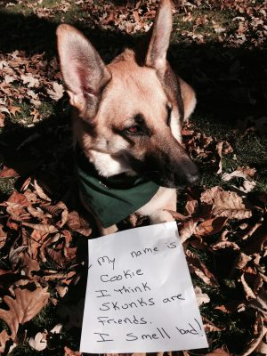 Cookie can't take the hint that skunks are not potential friends. Dog shaming