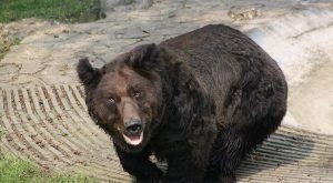 Oliver, as the bear was called, was rescued in 2010 by the advocacy group…