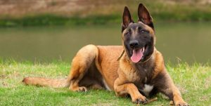 """Some fans of the Belgian Malinois are worried. They saw what """"Marley & Me""""…"""